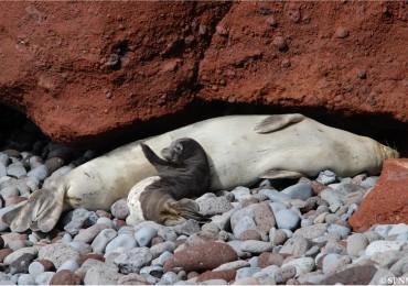 Ya se detectaron las primeras crías de foca monje de 2017