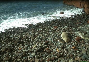 Um, dois, três, quatro em terra… e ai vêm mais dois lobos-marinhos