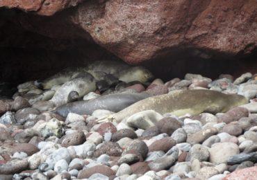 Exito en la recuperación de las pulseras satélite de foca monje