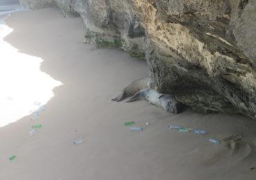 Lixo-marinho no habitat do lobo-marinho na Mauritânia