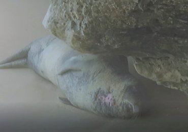 O bocejo do lobo-marinho