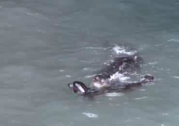 Época de cria de lobo-marinho 2018